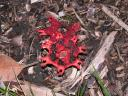 meat coloured fungus: balgowlah: sydney